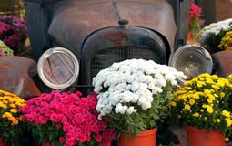 Antique Car and Mums Stock Photos