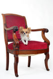 Antique chair and chihuahua Stock Photo