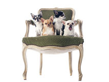 Antique chair and chihuahuas Stock Photo