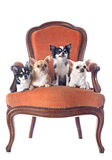 Antique chair and chihuahuas Royalty Free Stock Photo