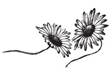 Antique daisies engraving (vector). Antique daisies engraving, scalable and editable vector illustration stock illustration