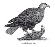 Eagle catching a bird isolated on white background. antique vintage engraving illustration from the 17th century Royalty Free Stock Photography