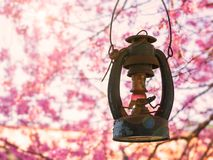 Antique lantern hanging with pink cherry blossom Stock Images