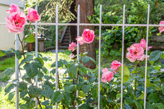Antique pink roses behind white railings Royalty Free Stock Photo