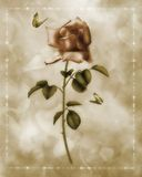 Antique rose Stock Photos