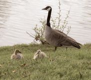 Antique style photo of a family of geese. Canadian geese family on green grass by a lake on a bright summer day stock images