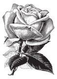Antique Vintage Rose Illustration Vector Clipart Stock Photo