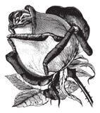 Antique vintage rose illustration vector clipart Stock Images