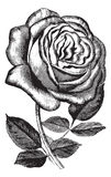 Antique vintage rose illustration vector clipart Royalty Free Stock Photo