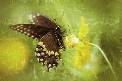 Antiqued męski Czarny Swallowtail motyl zdjęcie royalty free