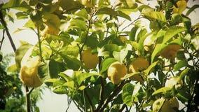 Antiquité de détail de citronnier clips vidéos