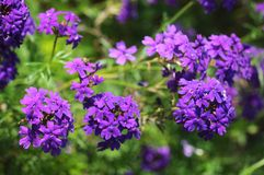Antiquity Cosmos. Beautiful violet antiquity Cosmos Flowers  in garden Stock Image