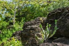 Antiquorum ευφορβίας στην πέτρα στη δασική εκλεκτική εστίαση Στοκ Φωτογραφίες