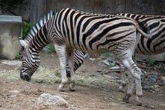 Antiquorum burchellii Equus burchellii Equus общей зебры на зоопарке Филадельфии стоковые фото