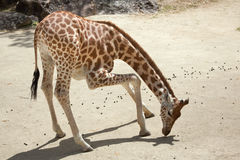 Antiquorum camelopardalis Giraffa жирафа Kordofan стоковые изображения