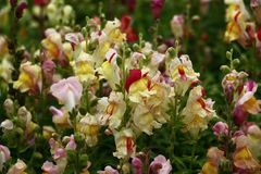 Antirrhinum. Royalty Free Stock Photo
