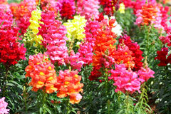 Antirrhinum flowers Royalty Free Stock Photography