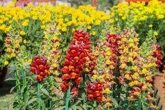 Antirrhinum flowers in the garden Stock Photo