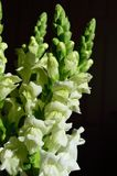White Snapdragon bouquet. Antirrhinum is a genus of annual plants commonly known as dragon flowers or snapdragons because of the flowers` fancied resemblance to Royalty Free Stock Photos