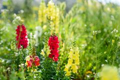 Antirrhinum is a genus of plants commonly known as dragon flowers or snapdragons. stock image