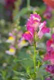 Antirrhinum majus dragon flower Royalty Free Stock Photography