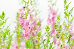 Antirrhinum majus lub kwiaty wyżlinów lub smoka Fotografia Stock