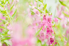 Antirrhinum majus or Snapdragons or Dragon flowers Royalty Free Stock Images
