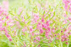 Antirrhinum majus or Snapdragons or Dragon flowers Stock Photography