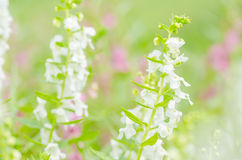 Antirrhinum majus or Snapdragons or Dragon flowers Stock Image