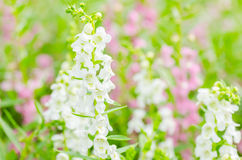Antirrhinum majus or Snapdragons or Dragon flowers Royalty Free Stock Image