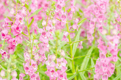 Antirrhinum majus or Snapdragons or Dragon flowers Stock Photo