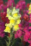 Antirrhinum, or Snapdragon Royalty Free Stock Images