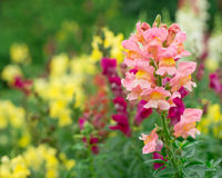 Antirrhinum or snapdragon Royalty Free Stock Photos