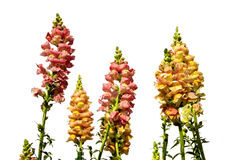 Antirrhinum yellow and pink flowers Royalty Free Stock Image