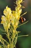 Antirrino amarillo Foto de archivo libre de regalías