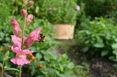Antirrino con un abejorro Imagenes de archivo