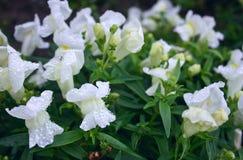 Antirrino hermoso, delicado de las flores imagen de archivo libre de regalías