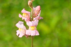 Antirrinos rosados de la flor Imagen de archivo libre de regalías