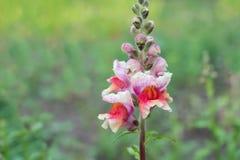 Antirrinos rosados de la flor Fotos de archivo libres de regalías