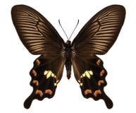 Antissa di aristolochiae di Pachliopta di specie della farfalla fotografie stock