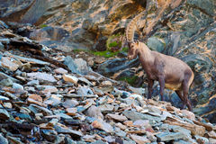 Antler Alpine Ibex, Capra ibex, with coloured rocks in background, animal in the stone nature habitat, Switzerland Stock Images