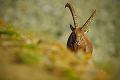 Antler Alpine Ibex, Capra ibex, Hidden portrait of  wild animal with coloured rocks in background, animal in the nature habitat, I Royalty Free Stock Images