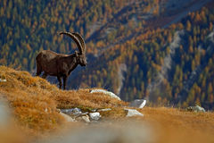 Antler Alpine Ibex, Capra ibex ibex, animal in the nature habitat, with autumn orange larch tree and rocks in background, National. Park Gran Paradiso, Italy Royalty Free Stock Image