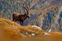 Antler Alpine Ibex, Capra ibex ibex, animal in the nature habitat, with autumn orange larch tree and rocks in background, National Stock Images