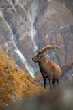 Antler Alpine Ibex, Capra ibex ibex, with autumn orange larch tree and rocks in background, National Park Gran Paradiso, Italy Royalty Free Stock Photos