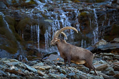 Antler Alpine Ibex, Capra ibex ibex, with mountain waterfall and rocks and water in background, National Park Gran Paradiso, Italy Royalty Free Stock Photos