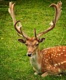 Antler, Antler Carrier, Fallow Deer Royalty Free Stock Photography