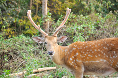 Antler Stock Photography