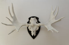 Antler Royalty Free Stock Photography