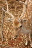 Antler deer. Close up The antler deer Stock Photos